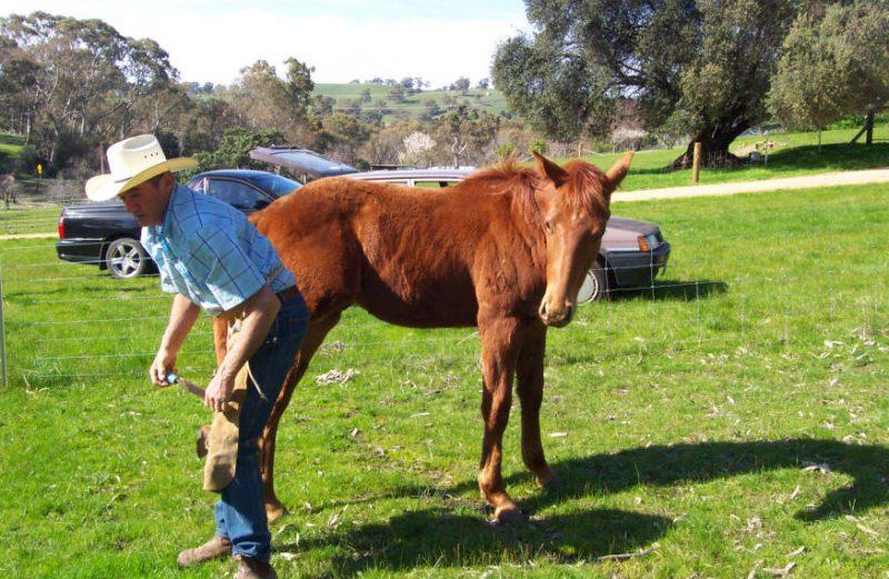 farrier working on Foals
