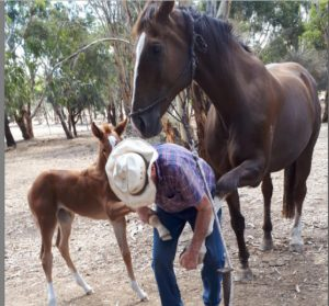 Foal Hobbles Horse Problems Australia