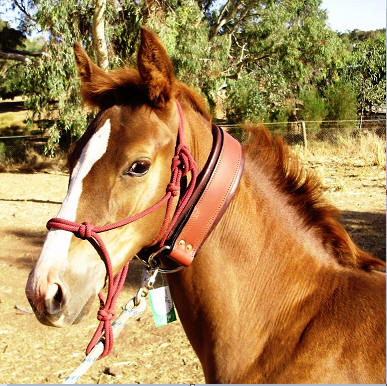 Foal Tie up Collar