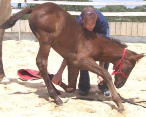 Leg Restraints Training of the Foals