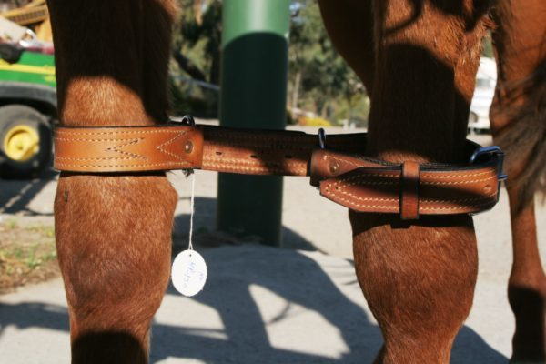 Leg Restraints Training of the Horse