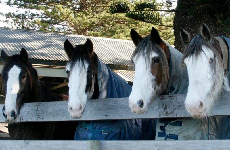 Victor Harbor Clydesdales