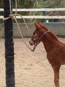 Foal pulling back