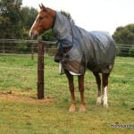 Hobble training of the horse