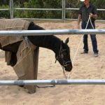 Leg Restraints train the Horses