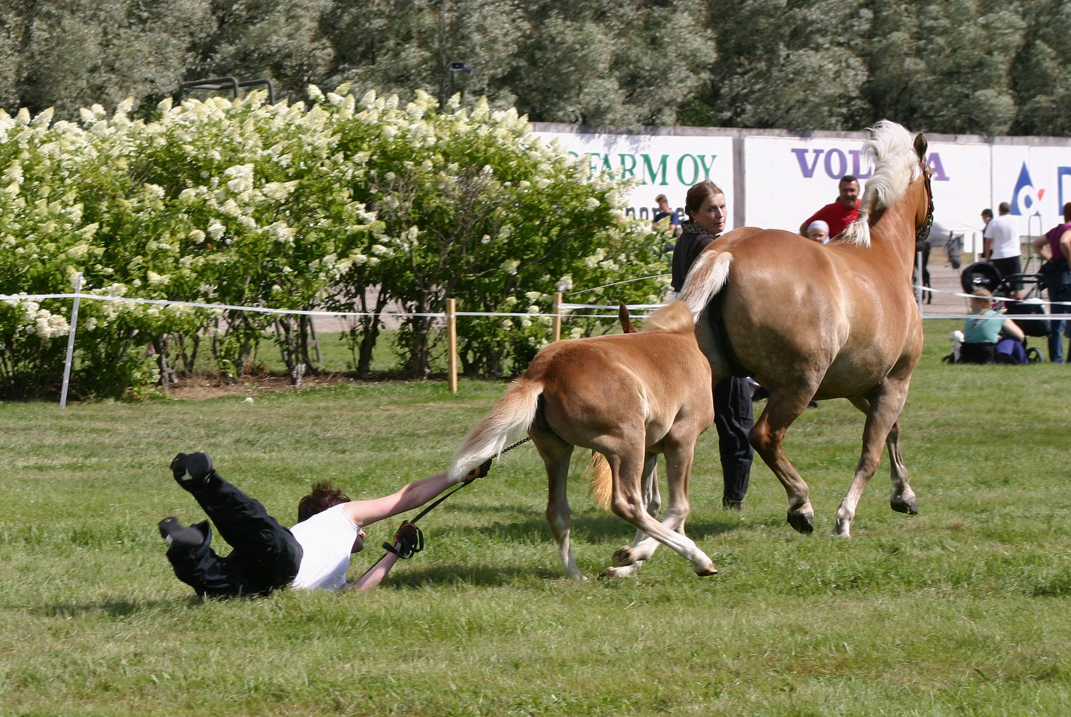 dragged-by-foal-min